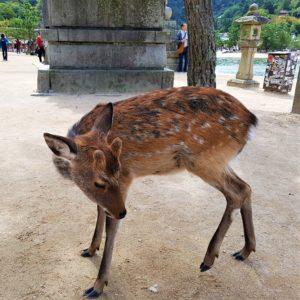 Ein Hirsch auf Miyajima